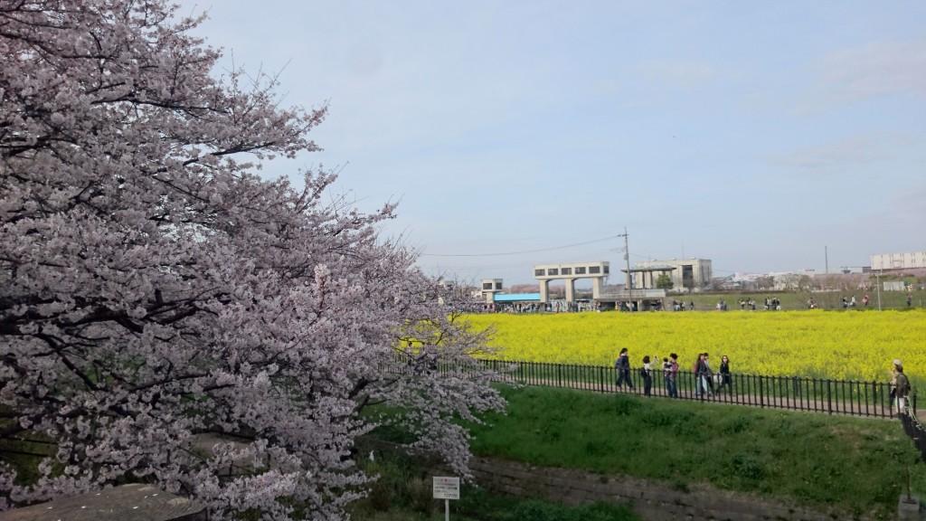 桜からの菜の花畑